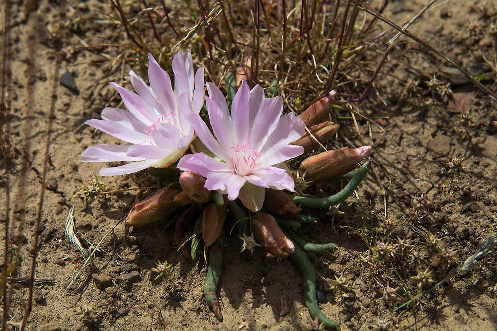 Tough and beautiful! One of the toughest plants in all of North America, the bitterroot is also one of the prettiest. The bitterroot grows natively in all the western continental states (excluding Arizona), including Alberta and British Columbia in Canada, where it remains dormant for most of the year buried under snow, ice, and completely dried up in hot desert sand. In late spring to early summer, this ground-hugging perennial of the sagebrush deserts and plains puts out one of the most incredible white to bright pink flowers, that shows in very sharp contrast to the surrounding habitat. These were found growing at the top of some of the hills near Whiskey Dick Mountain near the Columbia River in Eastern Washington.