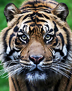 Bandar, a 5-year-old Sumatran tiger, made his media debut and was presented to the public in a special appearance at the Point Defiance Zoo & Aquarium. (Alan Berner / The Seattle Times)