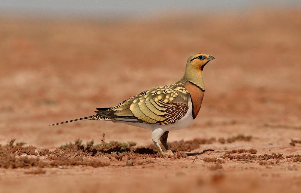 Pin-tailed Sandgrouse - Pterocles alchata<br /> male