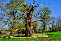 France, Morbihan (56), forêt de Brocéliande, Concoret, chêne géant de l'abbé Guillotin // France, Morbihan (56), Forest of Brocéliande, Concoret, Giant Oak of Father Guillotin
