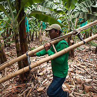 A worker carries a bamboo ladder while collecting organic Fairtrade bananas at a plantation of APPBOSA in Peru.