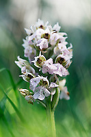 Milky Orchid  (Orchis lactea), Katharo, Crete