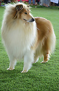 Rough Collie (also known as the 'Long-Haired Collie') is a long coated breed of medium to large size dog that in its original form was a type of collie used and bred for herding in Scotland.