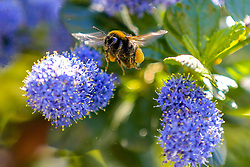 © Licensed to London News Pictures. 05/05/2020. London, UK. A bumblebee collects pollen from Ceanothus commonly known as Californian lilac on a warm spring day in the capital. Photo credit: Dinendra Haria/LNP