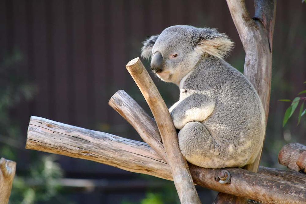 A koala at the San Diego Zoo