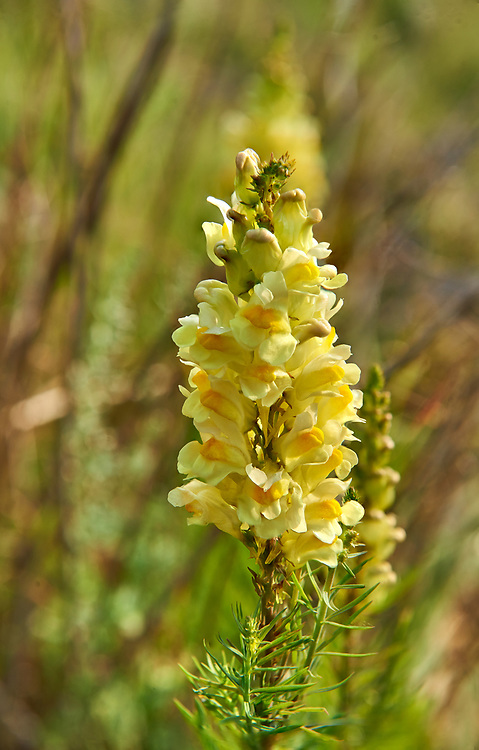 Wild yellow toadflax, Linaria vulgaris,  on the Piano Grande, Great Plain, of Castelluccio di Norcia, Parco Nazionale dei Monti Sibillini,  Apennine Mountains,  Umbria, Italy. .<br /> <br /> Visit our ITALY HISTORIC PLACES PHOTO COLLECTION for more   photos of Italy to download or buy as prints https://funkystock.photoshelter.com/gallery-collection/2b-Pictures-Images-of-Italy-Photos-of-Italian-Historic-Landmark-Sites/C0000qxA2zGFjd_k