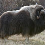 Muskox in Alaska.