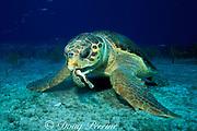 loggerhead sea turtle, Caretta caretta, crushes tulip shell to feed on hermit crab inside, Little Bahama Bank, Bahamas ( Western Atlantic Ocean )