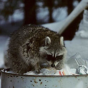 Raccoon, (Procyon lotor) climbing out of urban garbage can, scavenging for food. Winter.  Captive Animal.