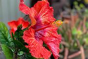 Hibicus, Flower, Hawaii