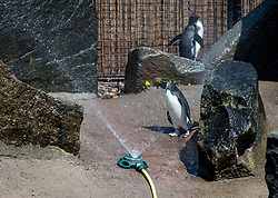 Penguins at Edinburgh Zoo got a helping hand to keep cool as temperatures soared as keepers installed sprinklers to help the birds keep cool, in addition to cooling the temperatures of their swimming pools.<br /> <br /> © Dave Johnston / EEm