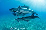 pod of Hawaiian spinner dolphins or long-snouted spinner dolphins, or Gray's spinner dolphins, Stenella longirostris longirostris, Hookena, Kona, Hawaii ( the Big Island ) Central Pacific Ocean