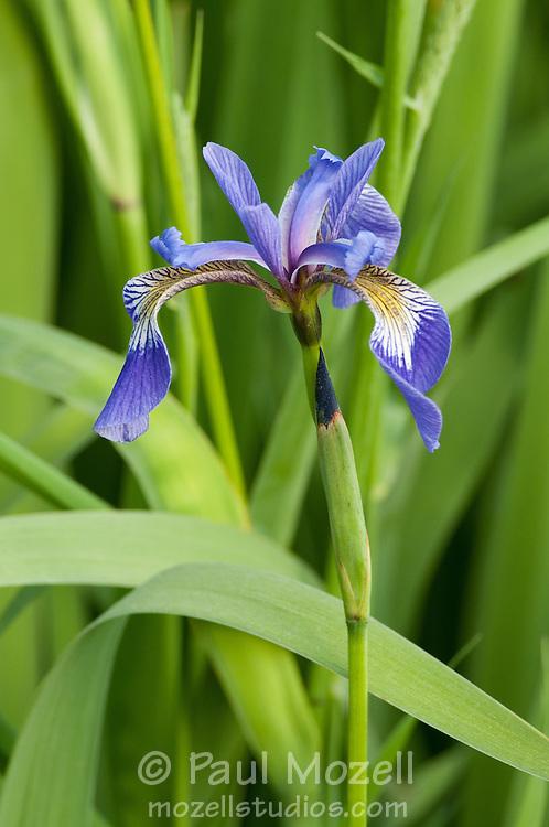 Iris versicolor.Blue Flag