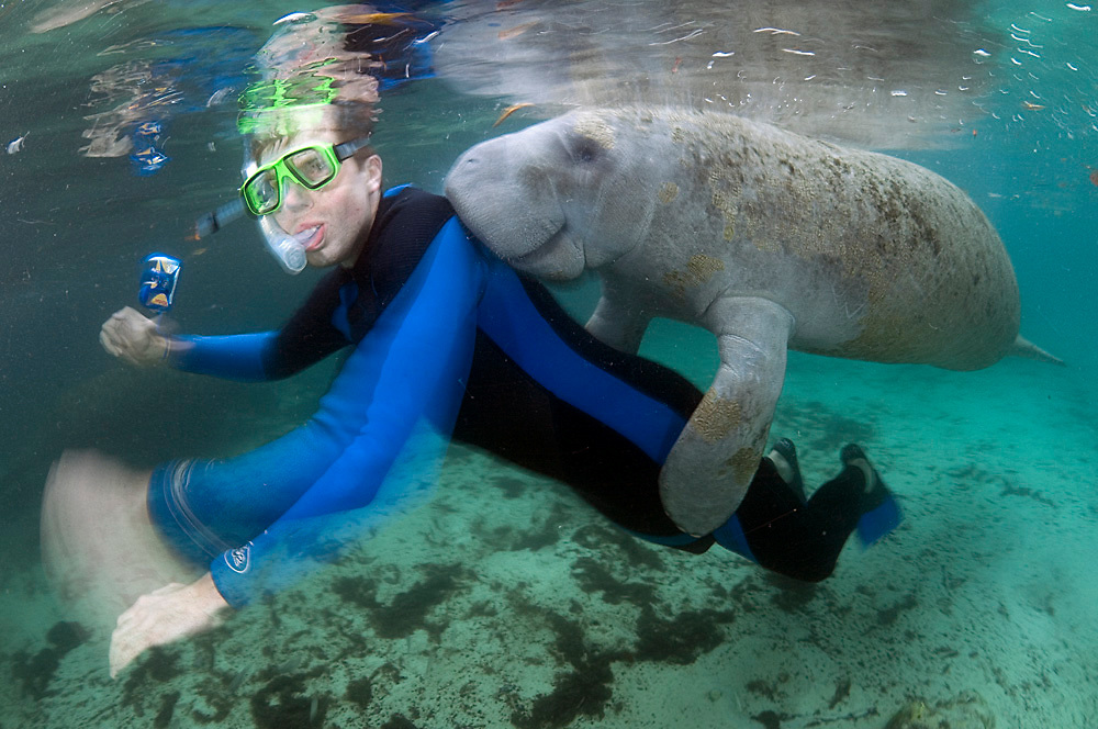 Wild, non-captive Florida Manatee (Trichechus manatus latirostris) plays with a tourist in Three Sisters Spring in Crystal River, FL. Three Sisters Spring is a major refuge for manatees during winter and a destination for people to swim with the endangered and protected animals.