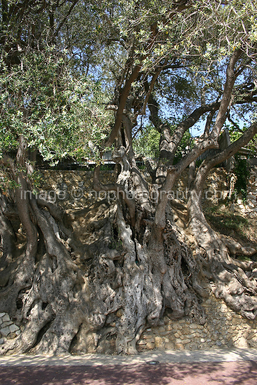 One hundred year old olive tree in Roquebrune Village South of France