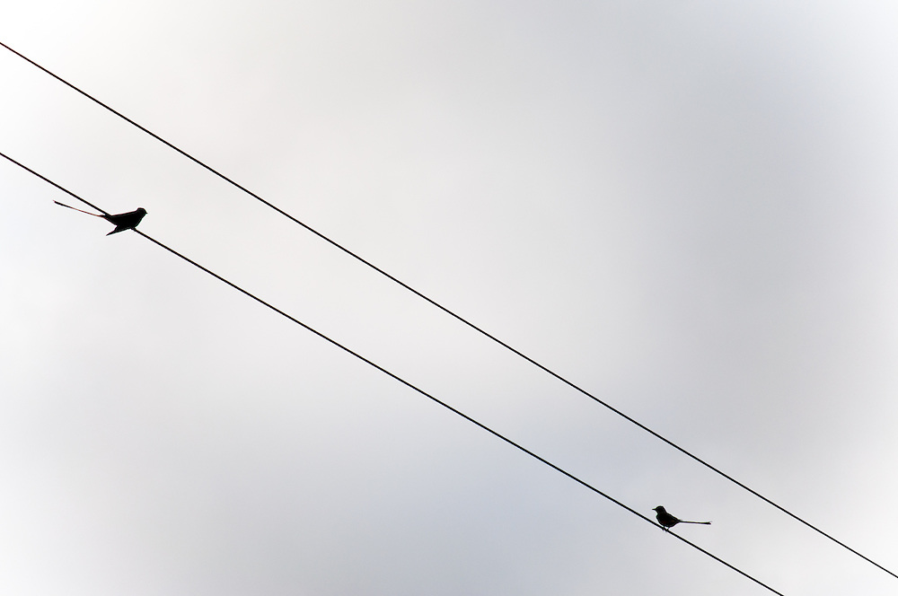 The silhouettes Scissor-tailed Flycatchers (Tyrannus forficatus) during migration in the Lower Rio Grande Valley, Texas.
