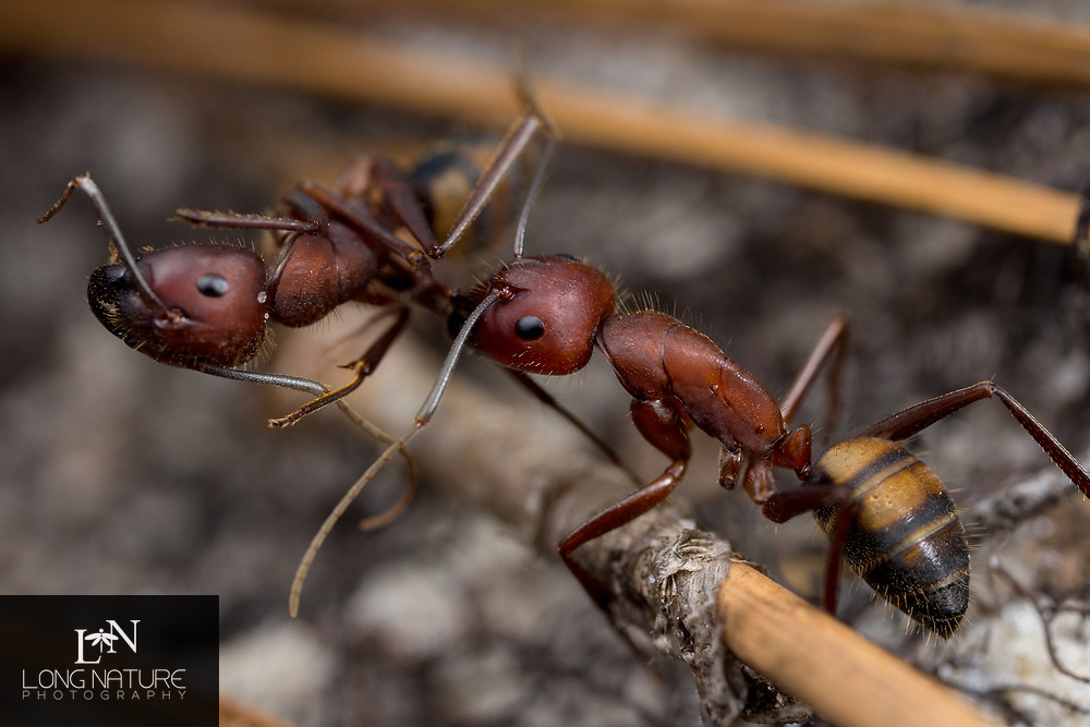 Camponotus socius retrieving the body of a fellow worker.