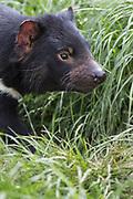 Tasmanian Devil<br /> Sarcophilus harrisii<br /> Trowunna Wildlife Park, Tasmania<br /> *Captive
