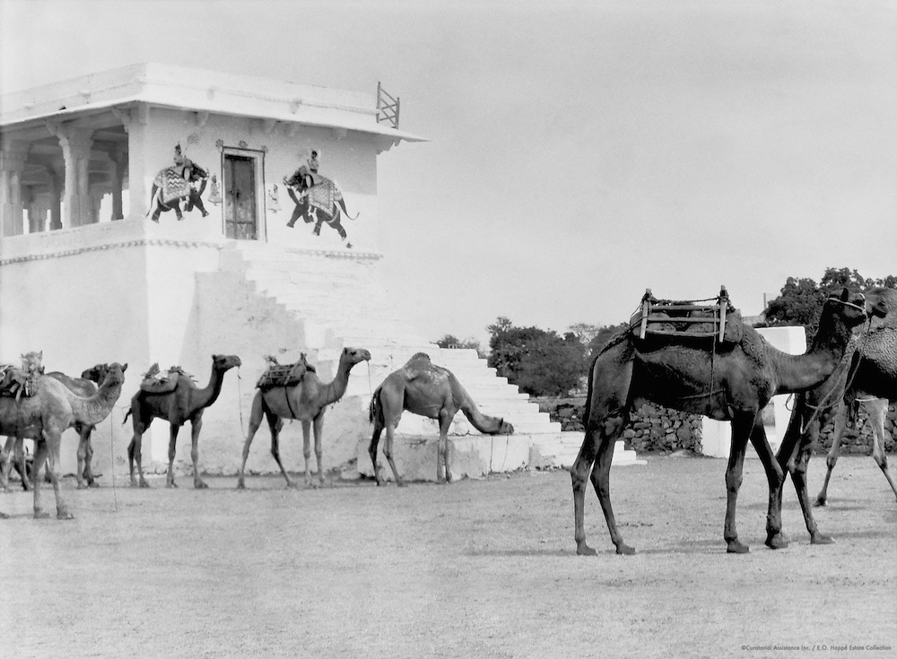 Camels, Udaipur, India, 1929