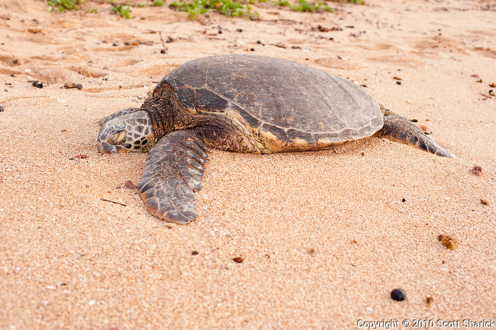 A Hawaiian Green Sea turtle rests on a North Shore Beach.
