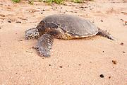 A Hawaiian Green Sea turtle rests on a North Shore Beach.