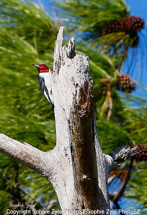 A Florida Red-headed Woodpecker sighting