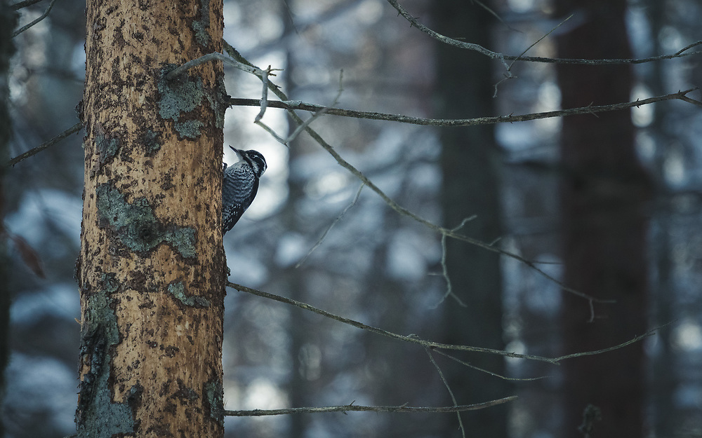 Three-toed woodpecker (Picoides tridactylus) foraging on dead spruce in spruce forest, Kemeri National Park (Ķemeru Nacionālais parks), Latvia Ⓒ Davis Ulands   davisulands.com