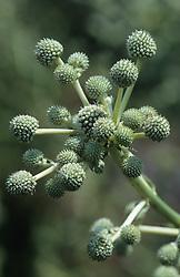 Eryngium eburneum