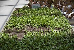 June 5, 2017 - Jili, Jili, China - Jilin, CHINA-June 5 2017: (EDITORIAL USE ONLY. CHINA OUT)..A 'mini farm' can be seen at a shopping mall in Jilin, northeast China, June 5th, 2017. Various vegetables including eggplants, cucumbers and Chinese cabbages can be seen at the 'mini farm' (Credit Image: © SIPA Asia via ZUMA Wire)