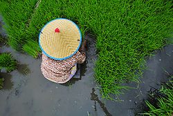 Nur Lina 52 pulls paddy rice seedlings ready for transplanting in the rice fields which are now being used but which were damaged by the Indian Ocean tsunami in 2004. Lho-nga village, District Aceh Besar, Aceh Province, Sumatra, Indonesia