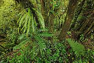 Subtropical rain forest, Gaoligongshan NP, Yunnan province, China