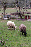 Two sheep grazing in the orchard at Ruckle Farm. Photographed in Ruckle Provincial Park on Salt Spring Island, British Columbia, Canada.