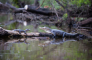 Aligators on a long in a bayou leading to ake Maurepas