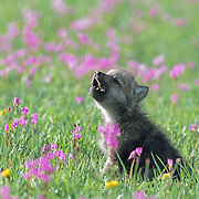 Gray Wolf (Canis lupus) pup howling in a field of blooming Shooting Star flowers in southwest Montana. Captive Animal