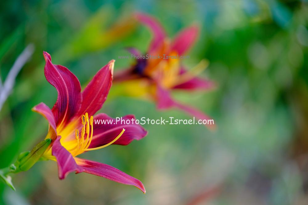 Amaryllis Flowers in a garden soft focus