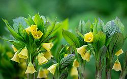 Scopolia carniolica f. hladnikiana syn. Scopolia carniolica var. brevifolia. Henbane bell