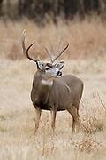 Mule deer buck (Odocoileus hemionus)during the rut