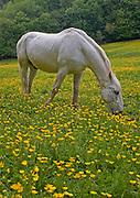 White horse grazing in field of buttercups, Devon, U.K.