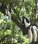 A group of black and white colobus monkeys, the mantled guereza (Colobus guereza) with their magnificent white mantels and tails relax on tree branches to digest their meal of leaves. Kilimanjaro National Park, Tanzania