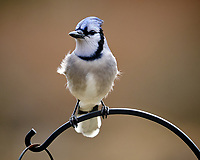 Blue Jay. Image taken with a Fuji X-T3 camera and 200 mm f/2 lens with 1.4x TC