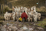 Quichua Indian Man & Alpacas (Vicugna pacos)Pulingue San Pablo community<br /> Chimborazo Province<br /> Andes<br /> ECUADOR, South America