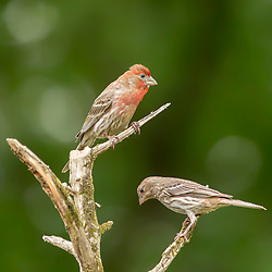 A male and a female finch stop to visit each-other on a bare tree