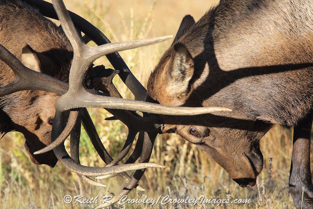 Two bull elk battle for dominance during the autumn rut. Bull on left has broken antler.