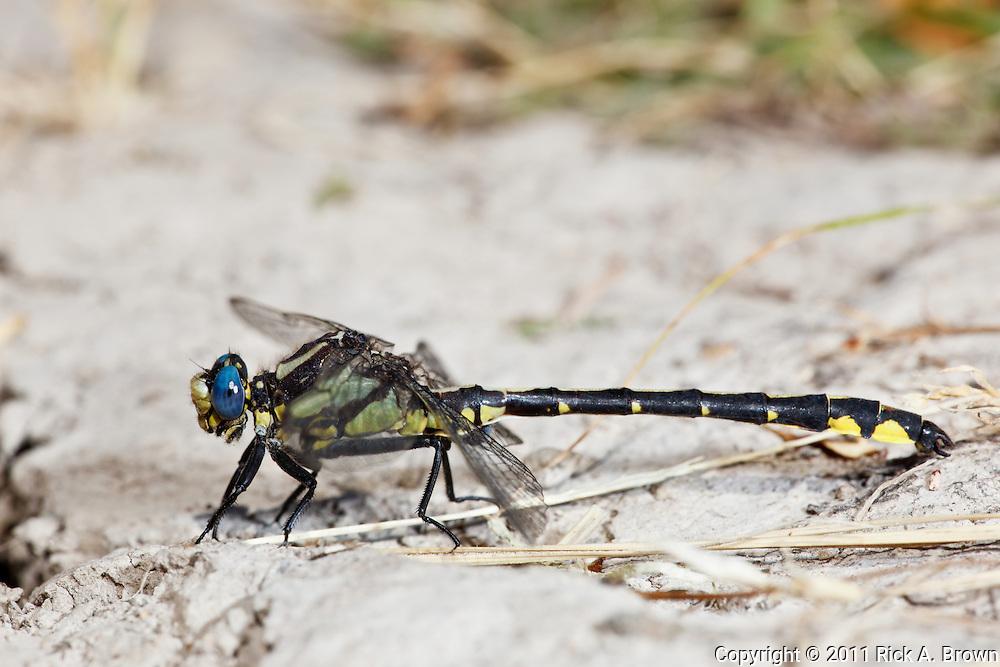 USA, Oregon, Albany, Freeway Ponds County Park,  male Pacific Clubtail (Gomphus kurilis)