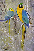 The blue-and-yellow macaw (Ara ararauna), also known as the blue-and-gold macaw, is a large South American parrot with mostly blue top parts and light orange underparts, with gradient hues of green on top of its head. It is a member of the large group of neotropical parrots known as macaws. It inhabits forest (especially varzea, but also in open sections of terra firme or unflooded forest), woodland and savannah of tropical South America. They are popular in aviculture because of their striking color, ability to talk, ready availability in the marketplace, and close bonding to humans. They can also live for 65-70 years. from the book '  Animal portraiture ' by Richard Lydekker, and illustrated by Wilhelm Kuhnert, Published in London by Frederick Warne & Co. in 1912