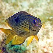 Longfin Damselfish, intermediate, generally inhabit reefs between 15-80 feet in Tropical West Atlantic; picture taken Little Cayman.