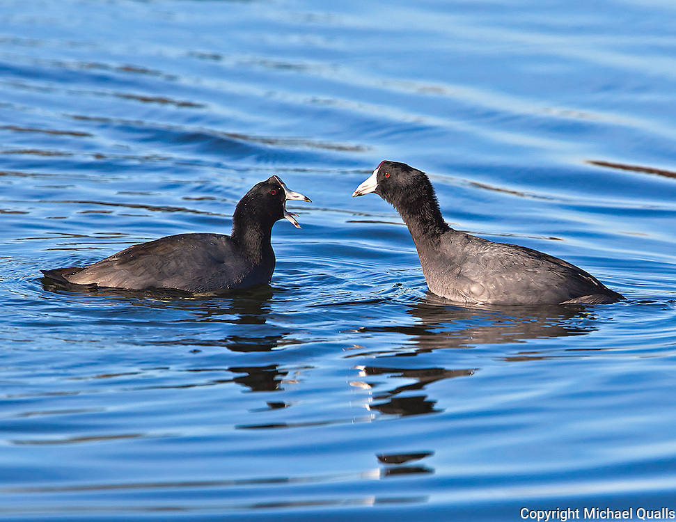 Confrontation between Coots