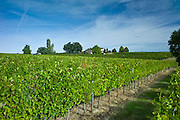 Merlot grapes ripe for harvest at Chateau Fontcaille Bellevue, in Bordeaux region of France