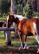 "Horse ""Dixie"" at hitching post, Caribou Creek Cabin, Talkeetna Mountains, Alaska."
