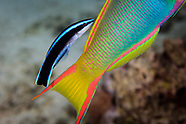 Labroides dimidiatus (Striped Cleaner Wrasse)